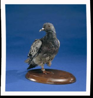 Cher Ami, stuffed pigeon